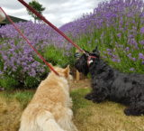 Lads In Lavender